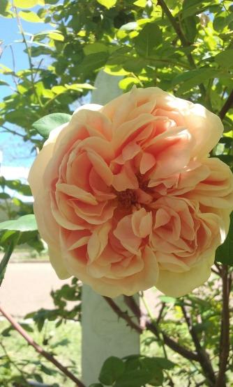 Rose_antique1_2016