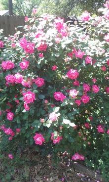 rose_Rita_2016
