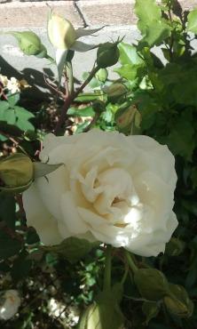 white rose_2016